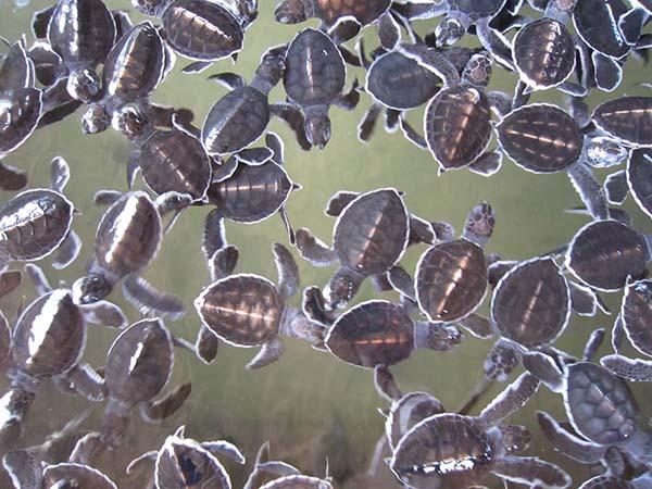 Turtle-Hatchery-Siyathra